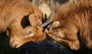 Goats lock horns in fight